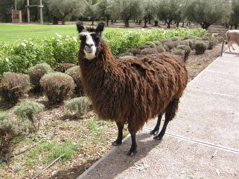 Resident llama hanging out in front of Trapiche, a Mendoza winery