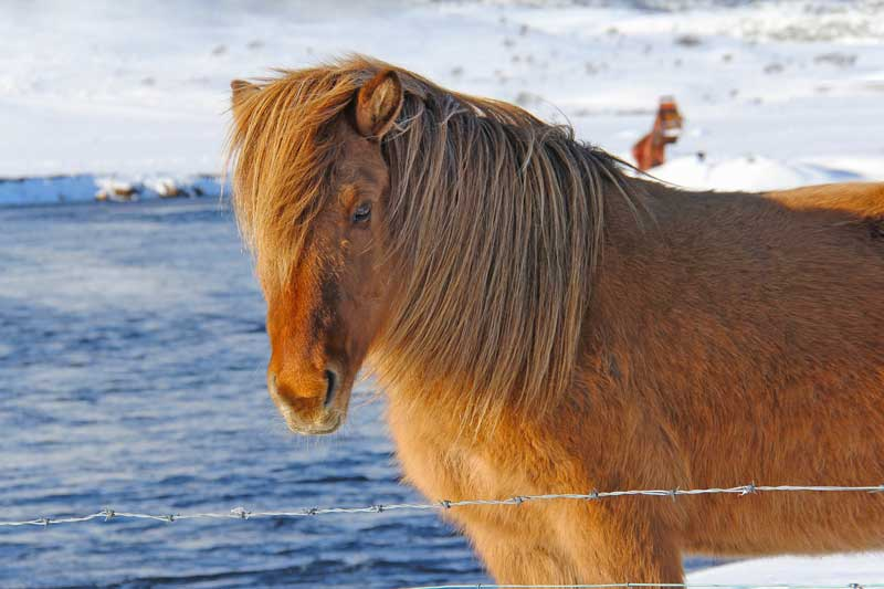 You can ride the beautiful Icelandic horses