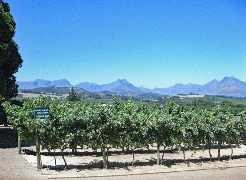 The beautiful Stellenbosch vineyards