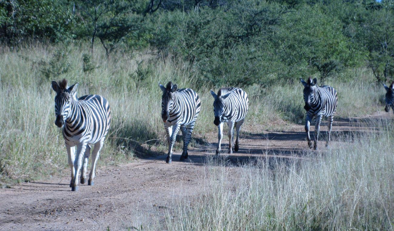 Zebra on safari in South Africa