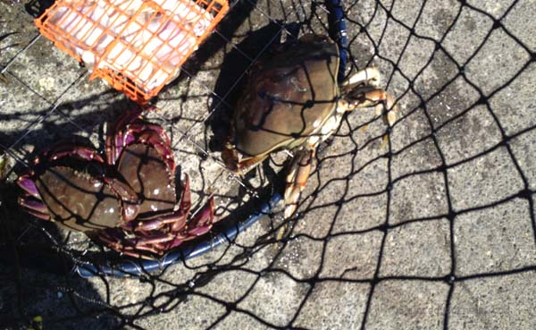 Catching crabs in the Puget Sound with a crab ring