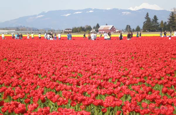 Skagit County Tulip Festival in Washington State