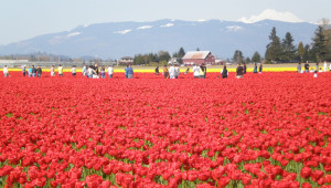 Skagit Valley Tulip Festival outside Seattle - one of the unique things to do in the Pacific Northwest