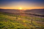 Croatia's Istrian vineyards