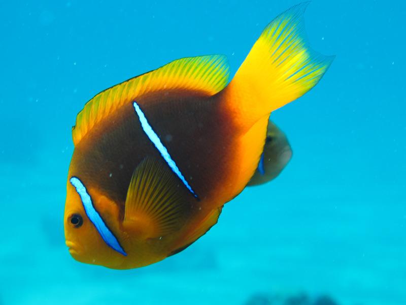 Colorful, tropical fish abound in Bora Bora