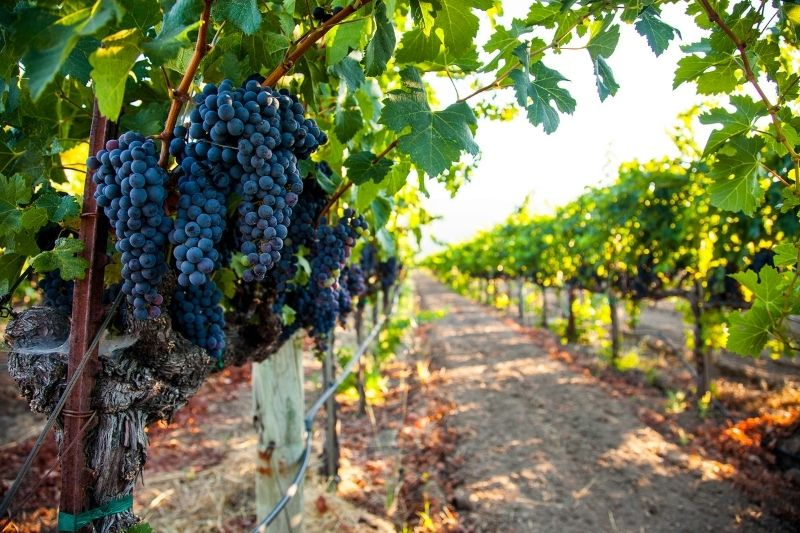 Vineyard with Grapes