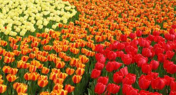 Holland's famous flower fields
