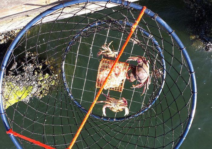 Crabbing for Dungeness crabs near Seattle