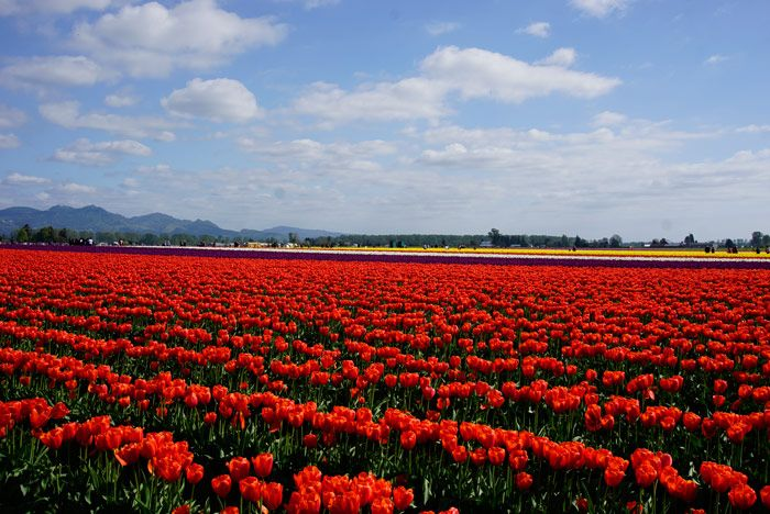 The Skagit Valley tulip fields (Photo by Savored Journeys)