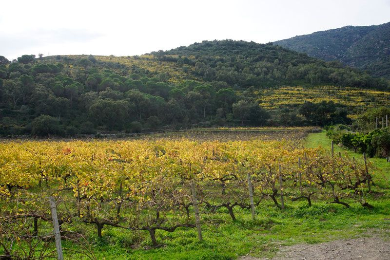 Vineyards of Mas Estela