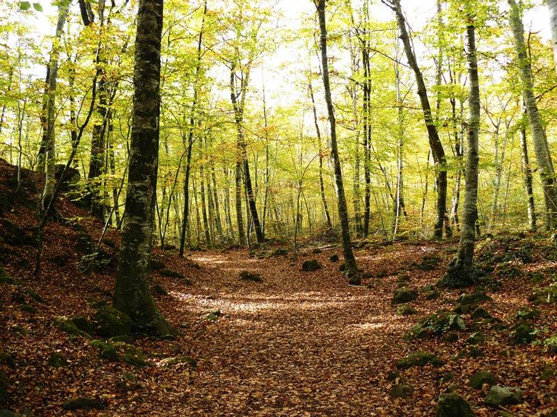La Fageda d' en Jordi beech forest