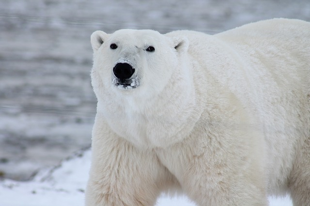 Polar Bears in the Northern Territories