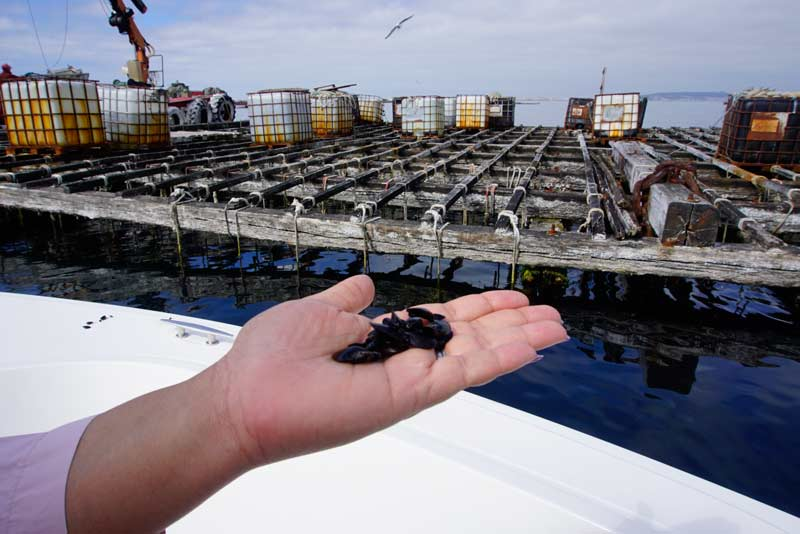 Mussels farms in Arousa
