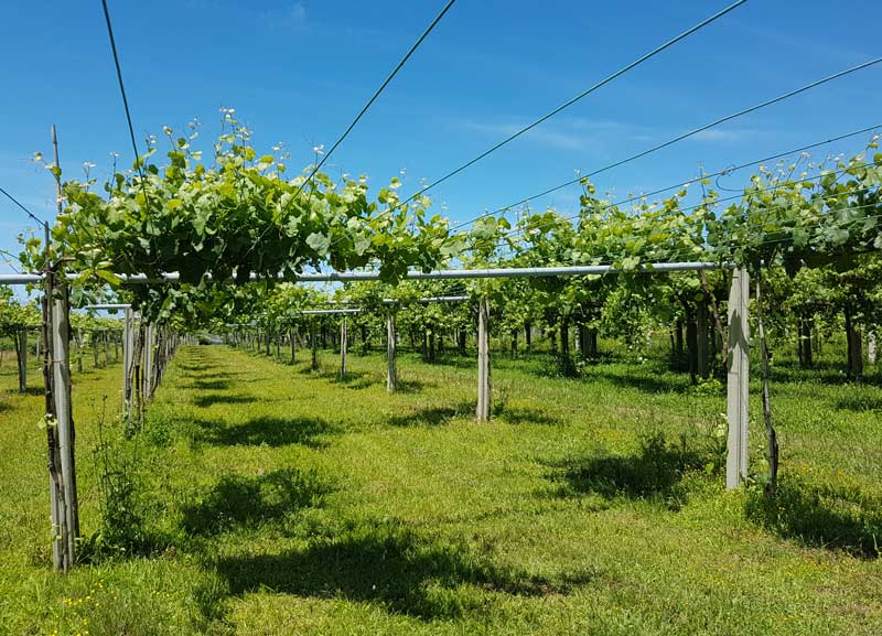 The pergola method of training the vines is used in Rias Baixas