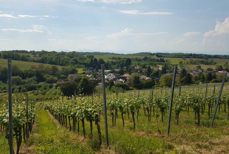 Weingut Dr. Schneider vineyards