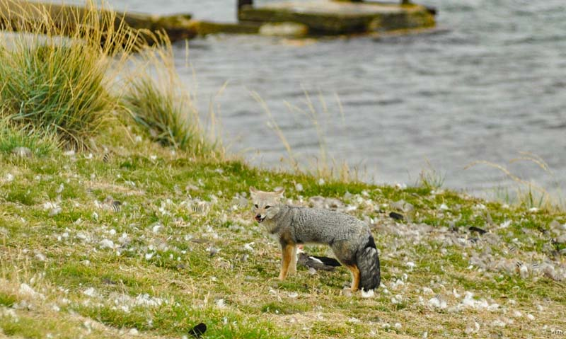 Patagonian grey foxes