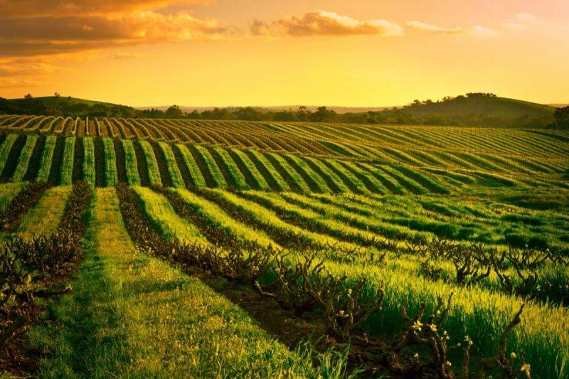 South Australia Wine Vineyard