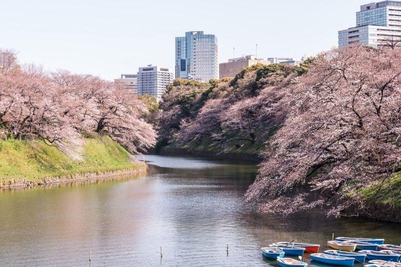 Kitanomaru Park Cherry Blossoms