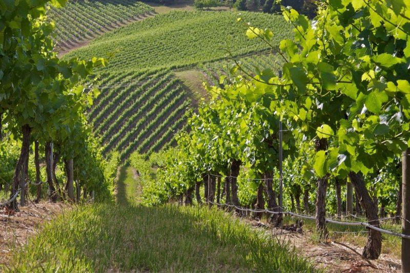South Australian Vineyard
