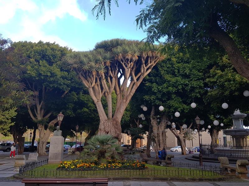 Dragon tree in the Plaza del Adelantado