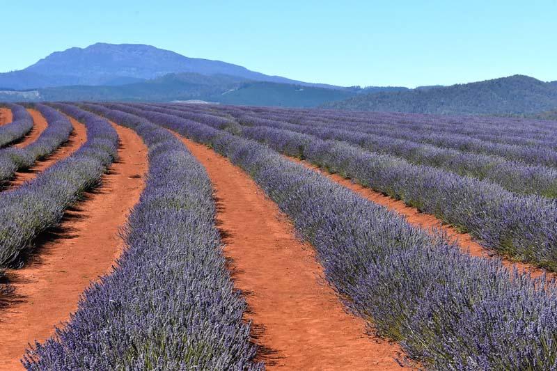 Lavender in Tasmania
