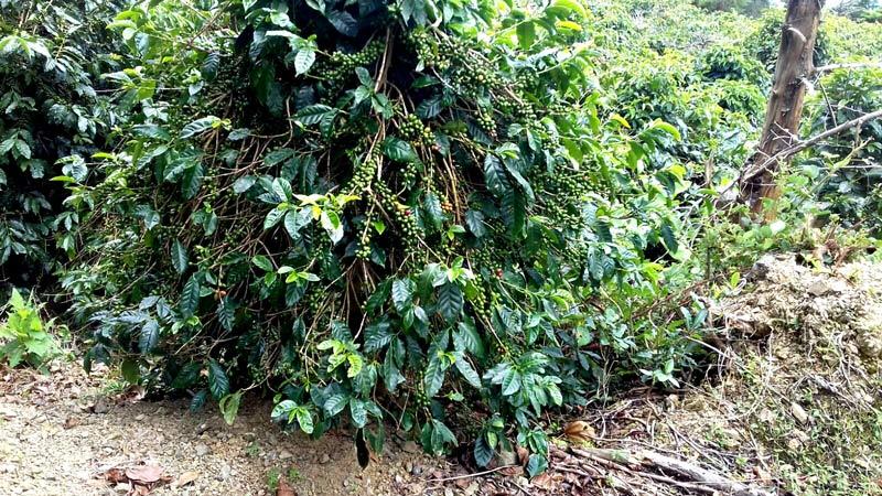 Blue mountain coffee plants