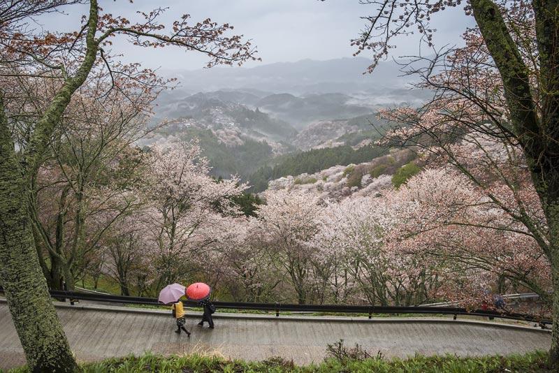 Nara Prefecture cherry blossoms