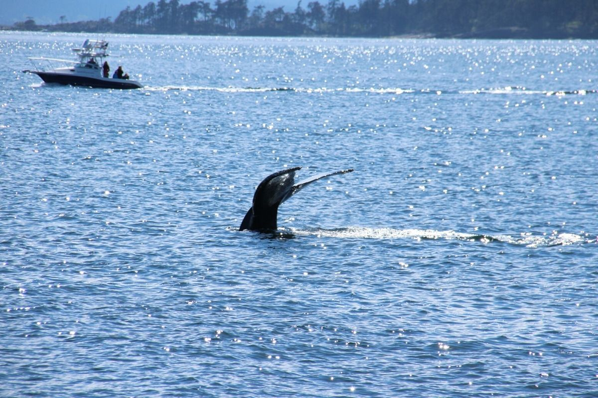 Whale breaching with boat in background