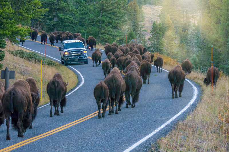 Bison in the road in Yellowstone